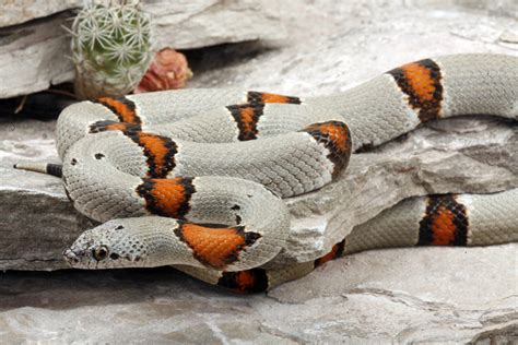 aging your king snake picture 1