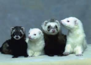 ferrets sleeping picture 9
