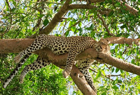 cheetah sleeping in a tree picture 10