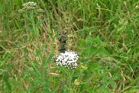 creeping yarrow picture 17