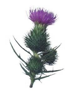 thistle graphics picture 3