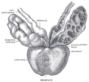 Purpose of the prostate picture 11