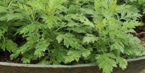 damo maria herbal plants picture 2