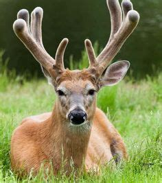 can you take creatine and deer antler velvet picture 4