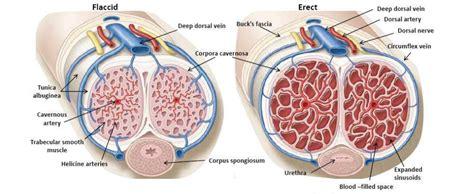 erection blood flow picture 17