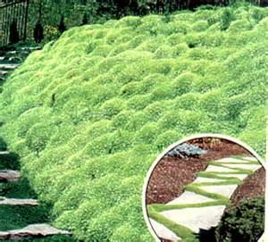 irish moss seeds picture 18
