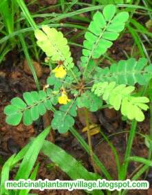 english, herbal plant picture 10