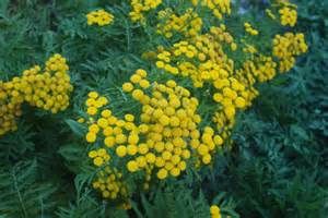 tansy herb in philippines picture 10