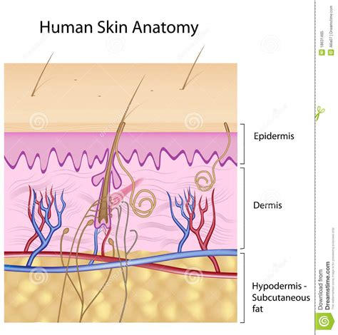 free images of human skin illustration picture 4