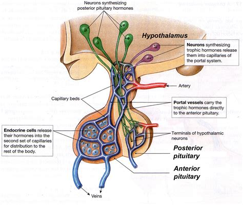 anterior pituitary picture 11