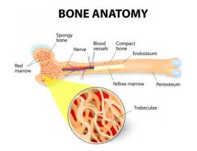 what is bone & bone marrow homeopathic used picture 4