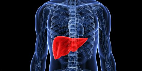 pictures of the human liver picture 9