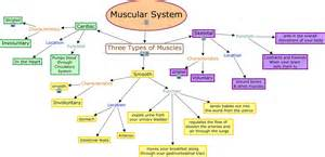 functions of muscle system picture 10