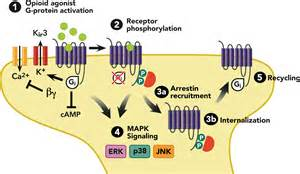 what supplement binds to opiate receptors picture 1