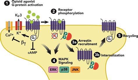 what supplement binds to opiate receptors picture 4