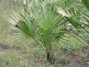 Saw palmetto picture 1