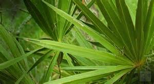 Saw palmetto picture 9