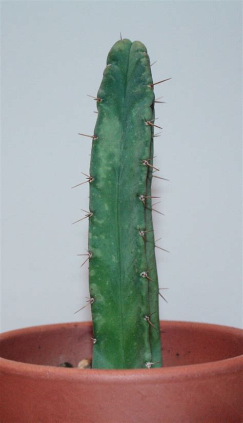 where to buy bolivian torch cactus in st. picture 3