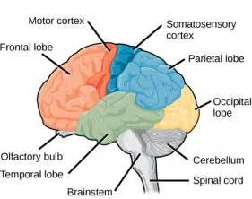 cerebral blood flow motor cortex picture 11