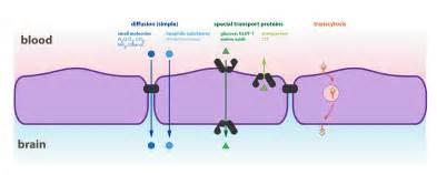 bacterial meningitis penetrates brain blood barrier picture 5