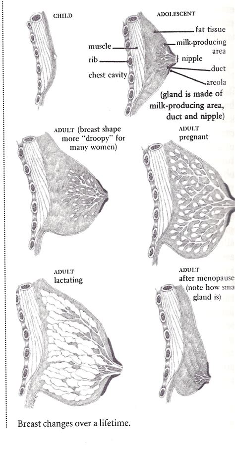 how breast develop pictures picture 15