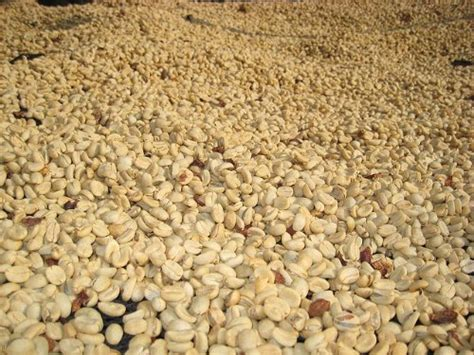 50 lbs green coffee beans picture 3