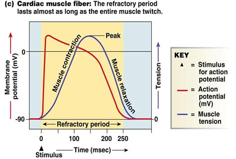 do muscle fibers have a refractory period picture 1