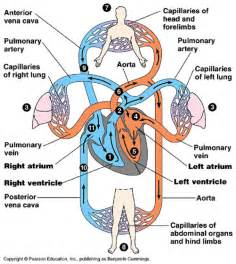 anatomy and physiology of blood circulation picture 13