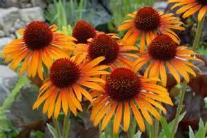 echinacea plant picture 2