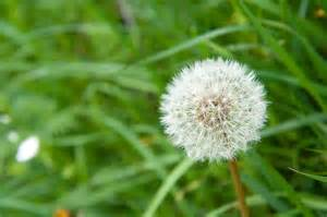 a dandelion picture 15