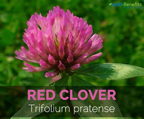red clover tea picture 3