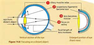 action of ciliary muscle when viewing far object picture 7