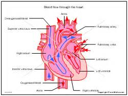 blood flow through the heart picture 14
