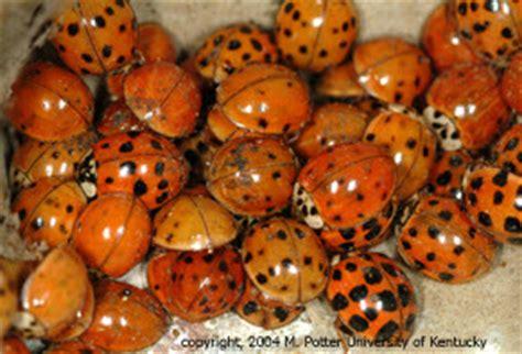 pheromones japanese beetles picture 3
