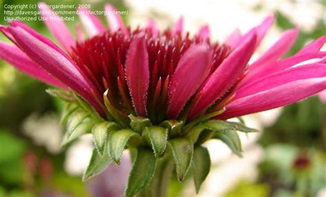 echinacea after midnight picture 2