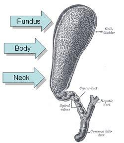 gall bladder wiki picture 10