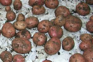 potato white spots on skin picture 2