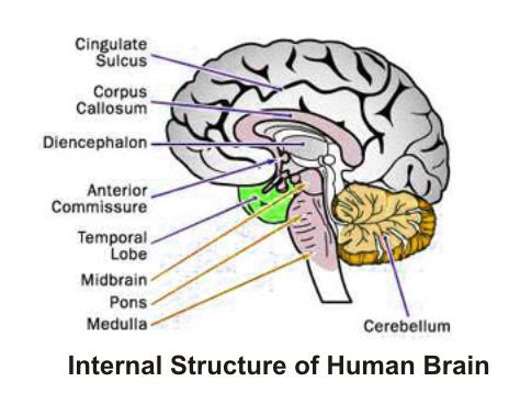 blood flow areas, human brain picture 6