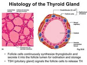 thick thyroid gland picture 13