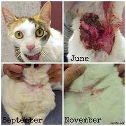 feline skin allergies picture 17