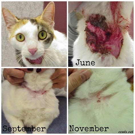 feline skin allergies picture 9