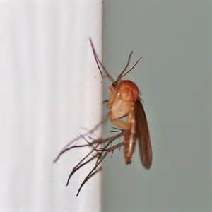 fungus gnats picture 5