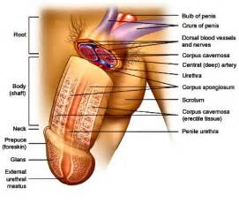 modification of the human male penis picture 1