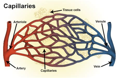 capillaries facts picture 4