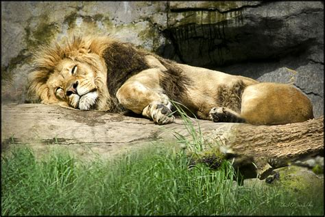 a lion was asleep picture 19