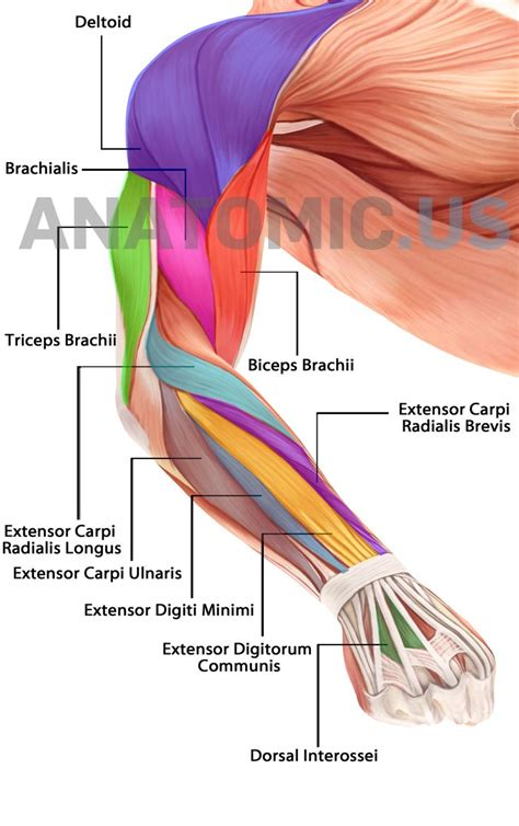 forearm muscle anatomy picture 11