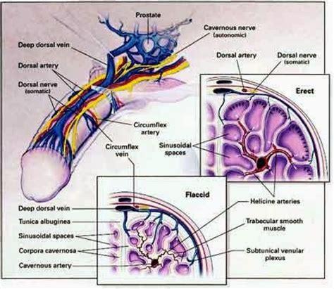 genital blood circulation picture 2
