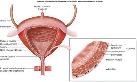 bladder picture 5