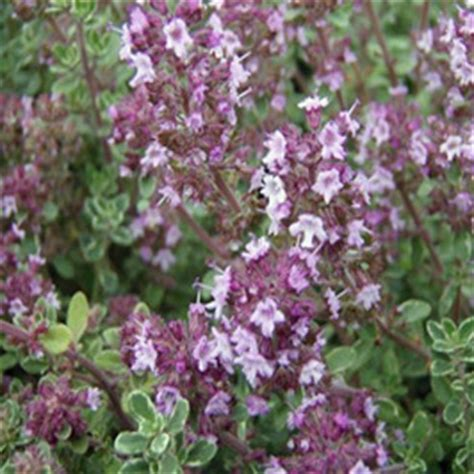 fenugreek and thyme picture 6