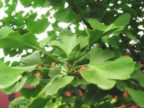 ginkgo biloba extract picture 1